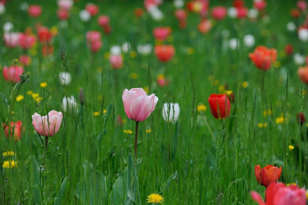 Villa Pisani Scalabrin - Tulips (16th April 2019)