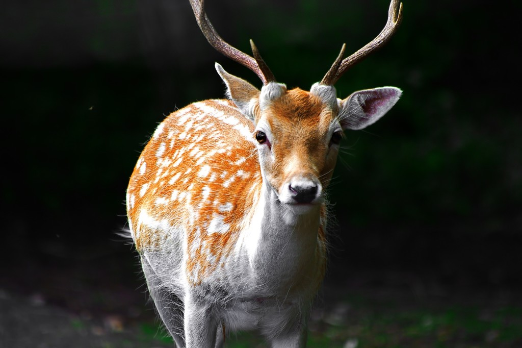 deer-1705102_1920