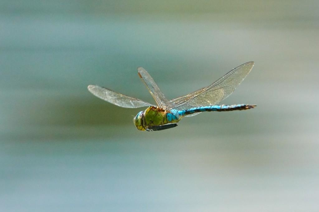 dragonfly-3736197_1920